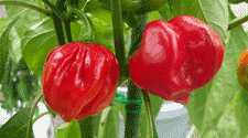 Grow hot peppers hotter