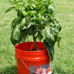 Pepper Plant 5 gallon bucket