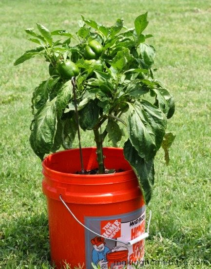 Transplanting pepper plants vegetable garden blog - Planting pepper garden ...
