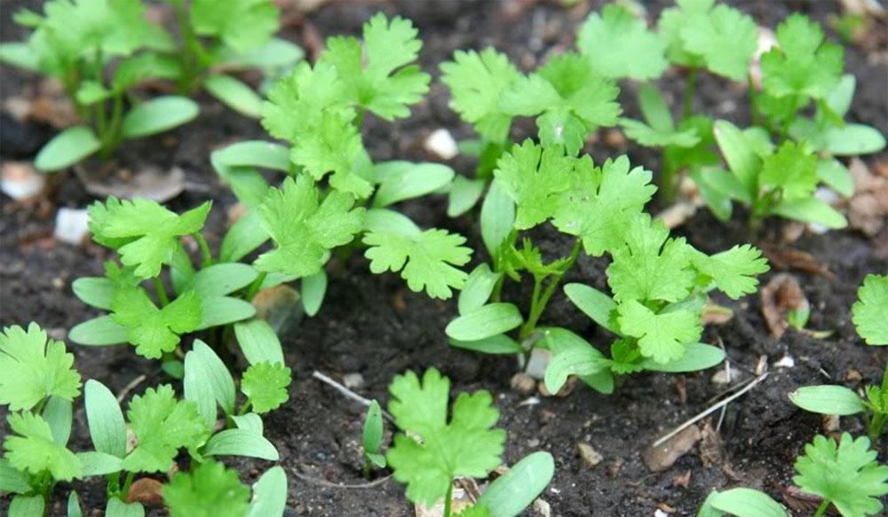 How To Grow Cilantro Vegetable Garden Blog