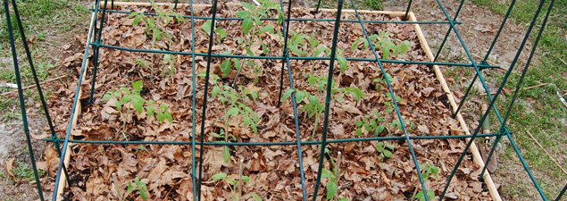 Today I Planted My Tomato Seedlings In A 4×4 Foot Raised Bed. I Planted  Them One Plant Per Square Foot.