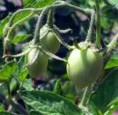 View The Tomatoes Album